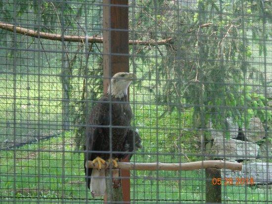 Lehigh Valley Zoo: American Bald Eagle