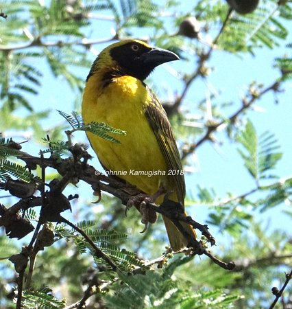 Kumi, Uganda: Fox's Weaver a Ugandan  Endemic bird was sighted by our team on 26th May 2018 in the Eastern reg