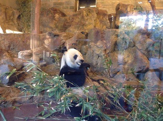 Adelaide Zoo: Panda Bear eating dinner