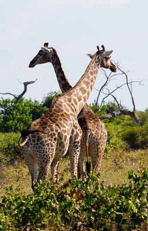 Shearwater - Chobe Full Day Trip: Giraffes keeping watch