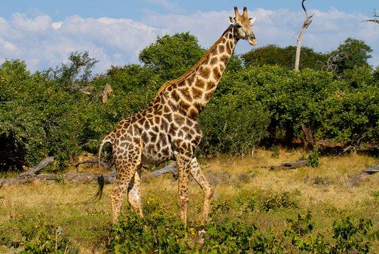Shearwater - Chobe Full Day Trip: Another Giraffe
