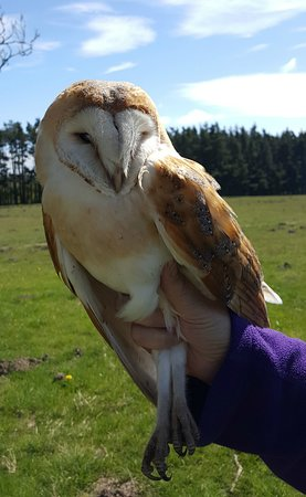 Foxglove Covert Local Nature Reserve: Barn Owl from box 160 (2018)