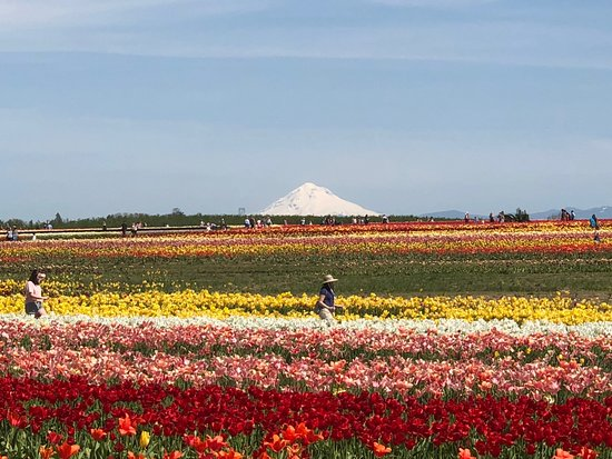 Woodburn, Oregón: People walking along the rows and rows of tulips.