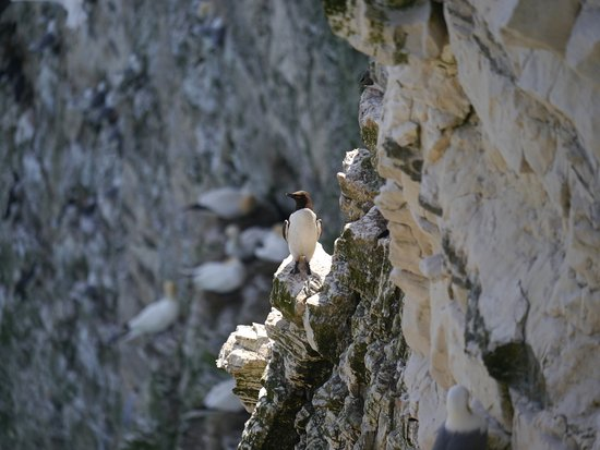 RSPB Bempton Cliffs : Birds on the cliffs