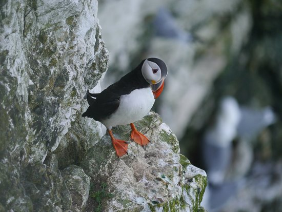 RSPB Bempton Cliffs : Puffin!