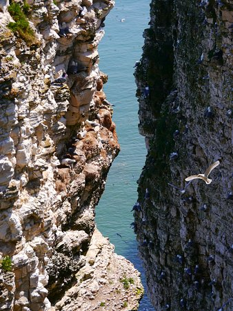 RSPB Bempton Cliffs : Birds in action