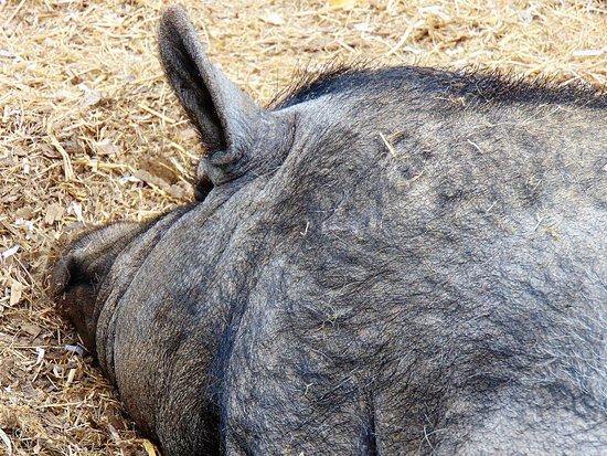 Wotter, UK: A noisy snoring pig!