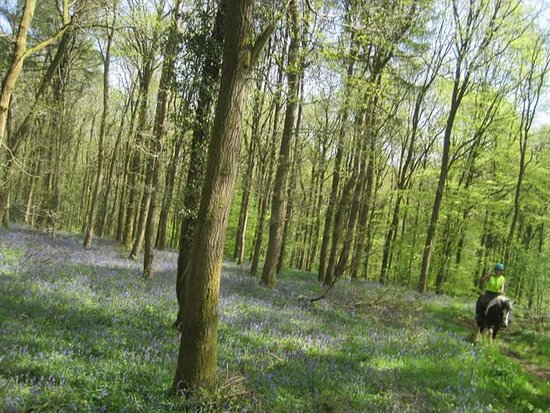 Lea, UK: Bluebells in the stunning Forest of Dean