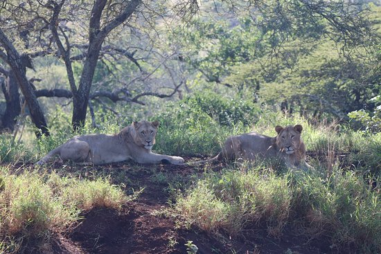 Zebra Hills Safari Lodge: Two young lions