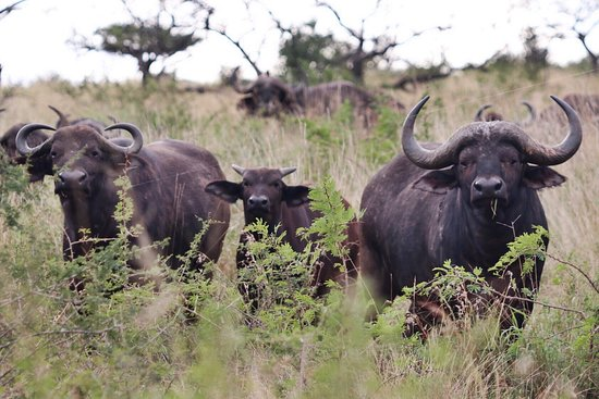 Zebra Hills Safari Lodge: Buffalo