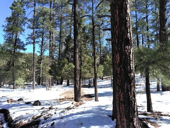 Clarkdale, AZ: Large pine trees, probably Ponderosa or Douglas Fir