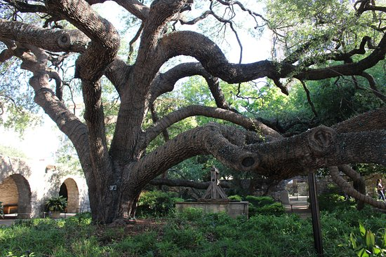 The Alamo : Large tree!