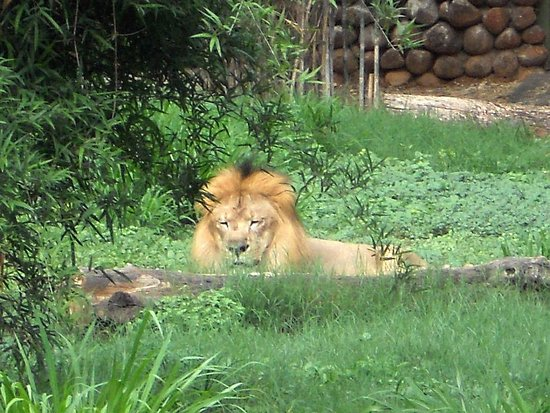 Sri Chamarajendra Zoological Gardens: Lion....in its den