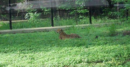Sri Chamarajendra Zoological Gardens: Cheetah
