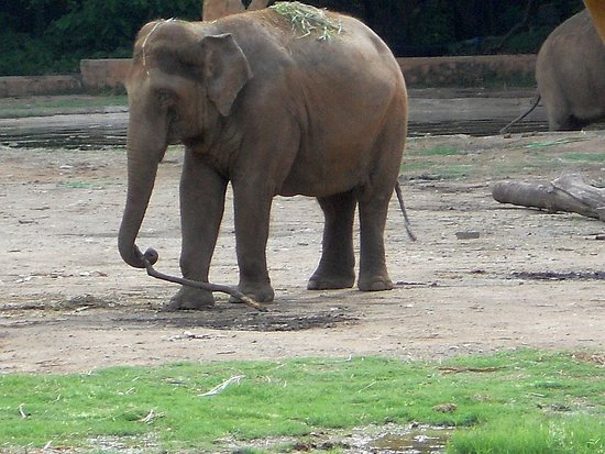 Sri Chamarajendra Zoological Gardens: Asian Elephants