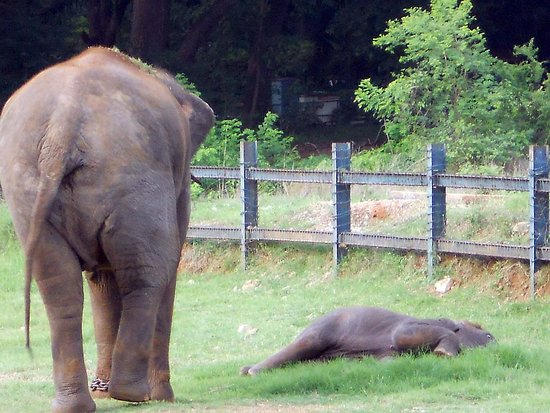 Sri Chamarajendra Zoological Gardens: Elephant with a new born calf