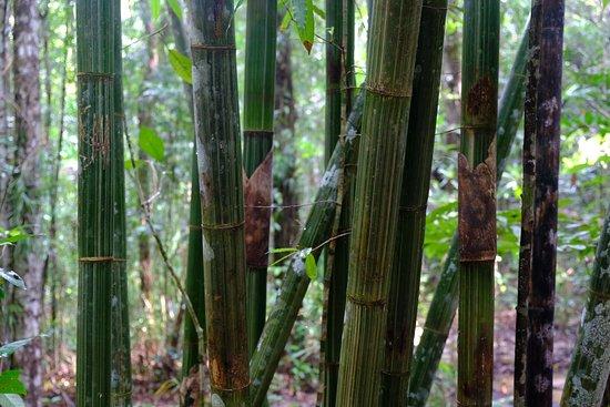 Tab Kak Hang Nak Hill Nature Trail: Les bambous