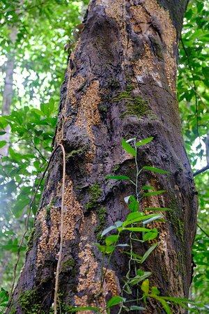 Tab Kak Hang Nak Hill Nature Trail : Les troncs majestueux