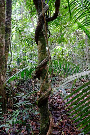 Tab Kak Hang Nak Hill Nature Trail: Les lianes