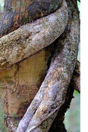 Tab Kak Hang Nak Hill Nature Trail: Les liannes