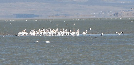 Brigham City, UT: Pelicans and tundra swans in March 2018.
