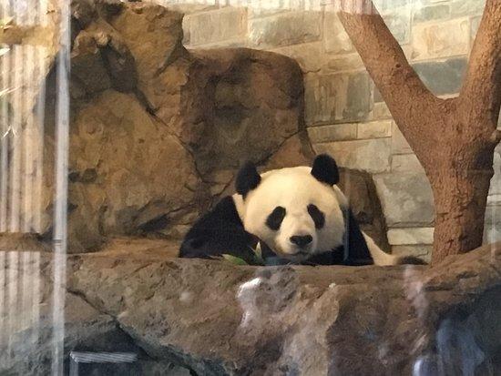 Adelaide Zoo: Giant panda has a big popularity.