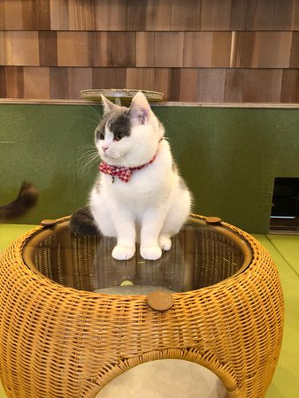 Cat Cafe Mocha Akihabara: The buddy with the bowtie.