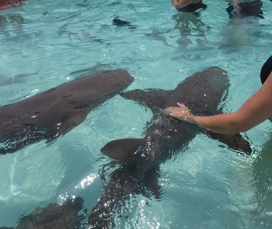 Sugar Adventure Company-Day Boat Tours : Petting the nurses sharks.