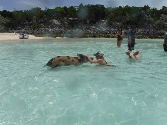 Sugar Adventure Company-Day Boat Tours: Feeding and playing with the pigs.