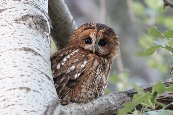 Greece Bird Tours: Tawny Owl