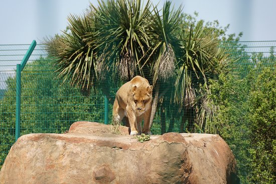 Isle of Wight Zoo: Nahla the Lioness