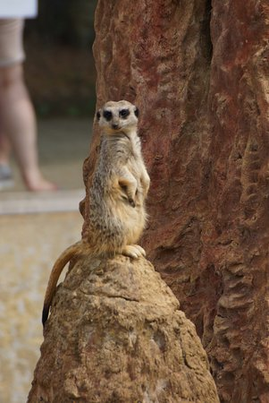 Isle of Wight Zoo: Meerkat on look out duty