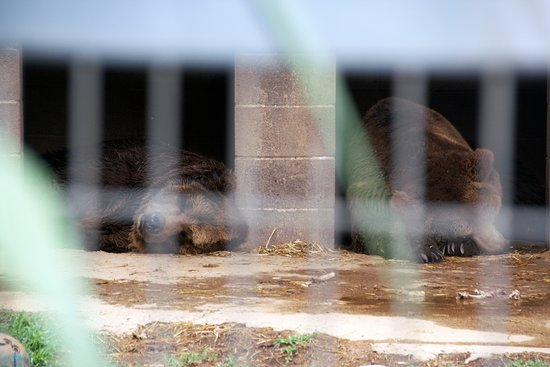 Wynnewood, OK: Brown bear