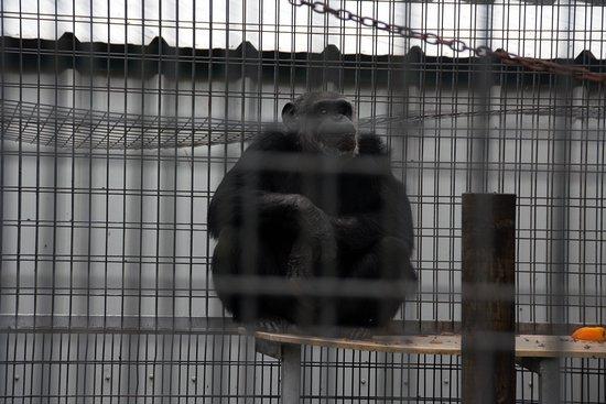 Wynnewood, OK: Chimp