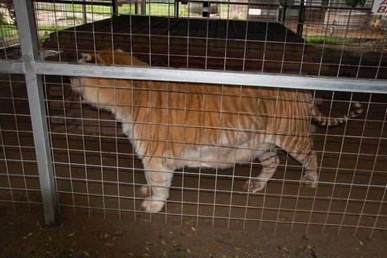 Wynnewood, OK: Siberian Tiger