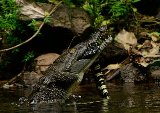 crocodile eating snake en sierpe de osa