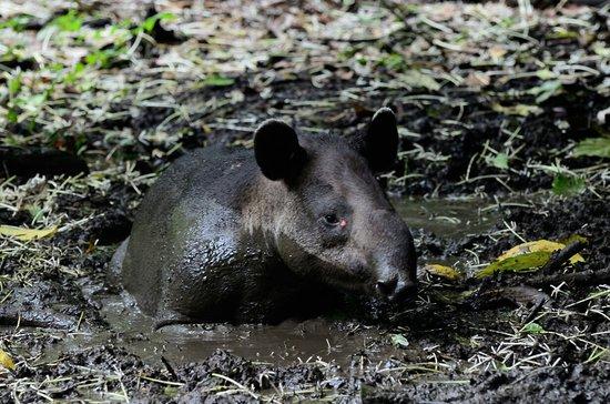 Baird´s tapir en corcovado