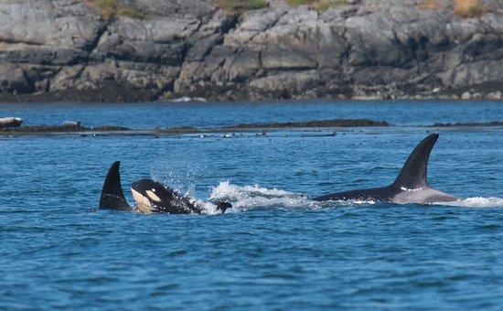 Maya's Legacy Whale Watching: Young calf