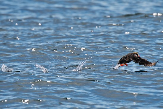 Maya's Legacy Whale Watching: Puffin running on water to take off