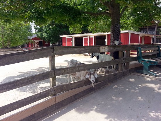 Randall Oaks Zoo: goats shading themselves from the sun next to the petting zoo fence