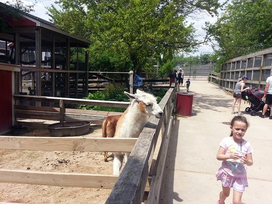 Randall Oaks Zoo: an alpaca wondering why she is walking past and he didn't get any of the food that she is carryi
