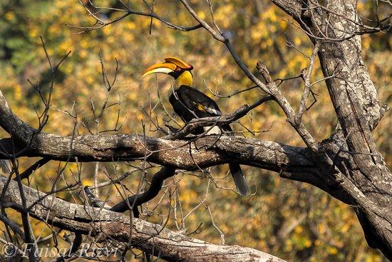 Ranthambore National Park: Hornbill in Dhikala