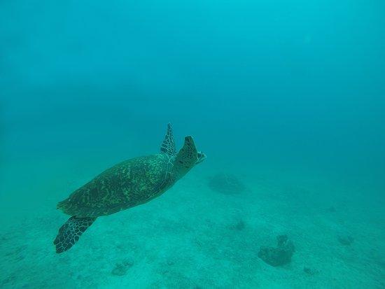 Tioman Dive Centre: Turtle