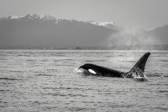 Vancouver Island's Ultimate Full-Day Whale and Wildlife Tour: Orca (killer) Whale