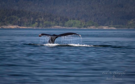 Vancouver Island's Ultimate Full-Day Whale and Wildlife Tour: Gray whale or Pacific Grey Whale (Eschrichtius robustus) - known as 'scratchy'