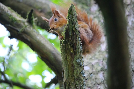Lockerbie, UK: One of the Eskrigg Red Squirrels, perched only a few yards away from my viewing location.