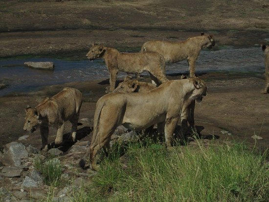 Blessed Tanzania Travel: Coalition of female lion at Tarangire National Park