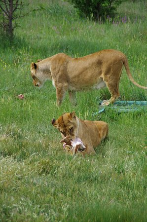 Taigan Lions Park: в 10 часов кормление животных