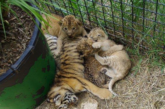 Taigan Lions Park: малыши)