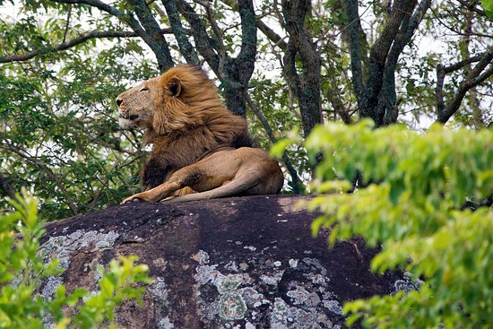 Kitgum, Uganda: Another male lion rests on a rock not far from our campsite